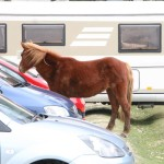 New Forest Pony scrounging off tourists.