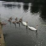 Swans on the Nene