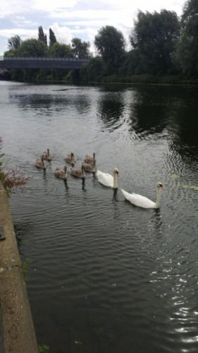 Swans on the Nene